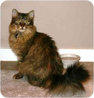 Maine Coon Cat for adoption in Portland, Oregon - Fluffy