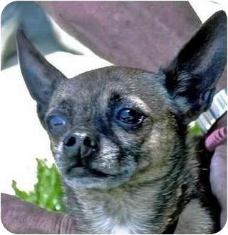 Chihuahua Dog for adoption in Berkeley, California - Kalea