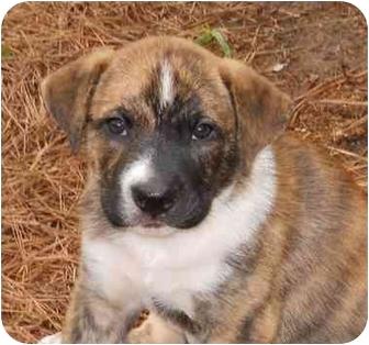 Boxer/Labrador Retriever Mix Puppy for adoption in Lincolnton, North Carolina - Pearl