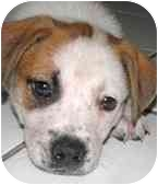 American Pit Bull Terrier/American Pit Bull Terrier Mix Puppy for adoption in Chicago, Illinois - Nelson