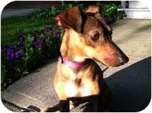 Rat Terrier/Dachshund Mix Dog for adoption in Buffalo, New York - Tuki