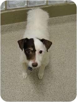 Jack Russell Terrier/Jack Russell Terrier Mix Dog for adoption in Madison, Alabama - Charlie
