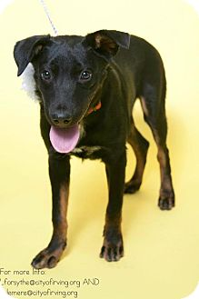 Shepherd (Unknown Type)/Terrier (Unknown Type, Medium) Mix Puppy for adoption in Dallas, Texas - Lily