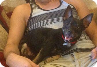 Chihuahua Mix Dog for adoption in Modesto, California - Hutch