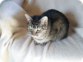 Domestic Shorthair Cat for adoption in Monterey, Virginia - Allie