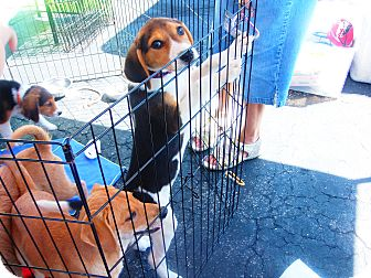 Collie/Foxhound Mix Puppy for adoption in Wappingers, New York - Foster Boy  Disco