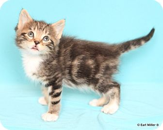 Domestic Mediumhair Kitten for adoption in Las Vegas, Nevada - Hope