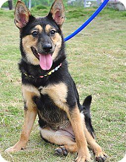 Corgi/German Shepherd Dog Mix Puppy for adoption in Surrey, British Columbia - Melissa