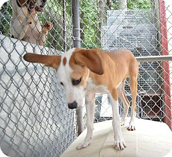 Labrador Retriever Mix Puppy for adoption in Henderson, North Carolina - Sinko