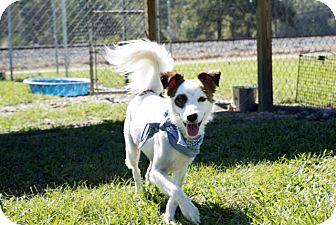 Papillon/Springer Spaniel Mix Dog for adoption in Baton Rouge, Louisiana - Bandit