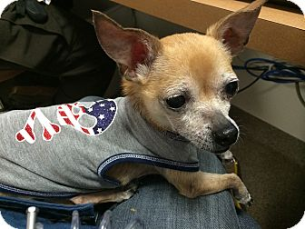 Chihuahua Dog for adoption in Troy, Ohio - Frankie- Adopted