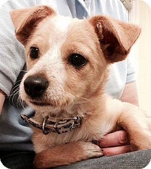 Chihuahua/Terrier (Unknown Type, Small) Mix Dog for adoption in Va Beach, Virginia - Gabriella
