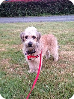 Poodle (Miniature)/Terrier (Unknown Type, Small) Mix Puppy for adoption in Salem, Oregon - Kolby