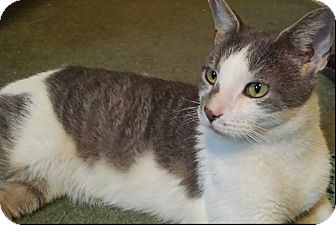 Domestic Shorthair Cat for adoption in Oakland Gardens, New York - Ethan