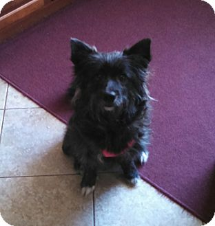 Cairn Terrier Mix Dog for adoption in Plainfield, Illinois - Gemma