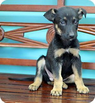 German Shepherd Dog/Labrador Retriever Mix Puppy for adoption in Concord, North Carolina - Isaac