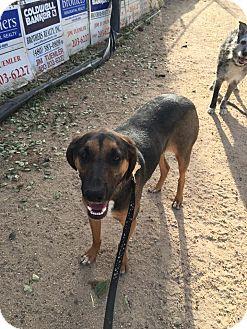 Catahoula Leopard Dog/Treeing Walker Coonhound Mix Dog for adoption in Phoenix, Arizona - Canyon