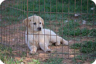 Golden Retriever/Labrador Retriever Mix Puppy for adoption in Wilminton, Delaware - Saxony