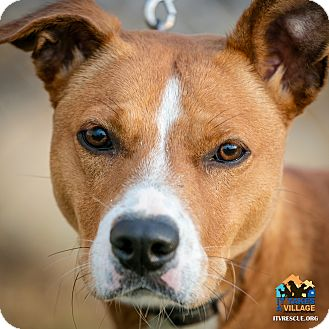 Staffordshire Bull Terrier Mix Dog for adoption in Evansville, Indiana - Pat