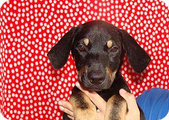 Rottweiler/German Shepherd Dog Mix Puppy for adoption in Oviedo, Florida - Navar