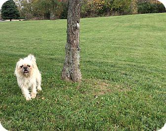 Brussels Griffon Mix Dog for adoption in Mechanicsburg, Ohio - Griffon
