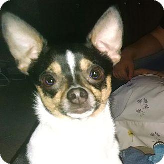 Rat Terrier Mix Dog for adoption in kennebunkport, Maine - Cruz - in Maine