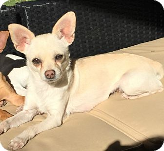 Chihuahua Mix Dog for adoption in Allentown, Pennsylvania - Brook