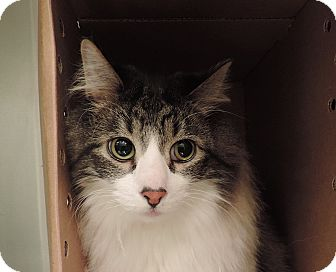 Domestic Longhair Cat for adoption in Sioux City, Iowa - CHESTER