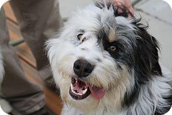 Bearded Collie/Wheaten Terrier Mix Dog for adoption in E. Wenatchee, Washington - Baron