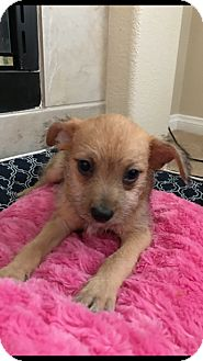 Terrier (Unknown Type, Small) Mix Puppy for adoption in Las Vegas, Nevada - Victor Stone