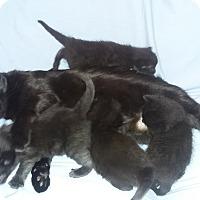 Adopt A Pet :: Four tiny black kittens - Parkton, NC