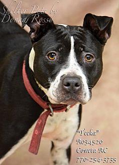 Boston Terrier/American Pit Bull Terrier Mix Dog for adoption in Newnan City, Georgia - Teeka