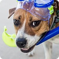 Adopt A Pet :: Scuba Steve - Fayetteville, AR