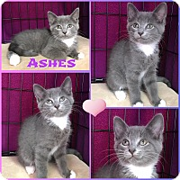 Adopt A Pet :: Ashes - Jeffersonville, IN