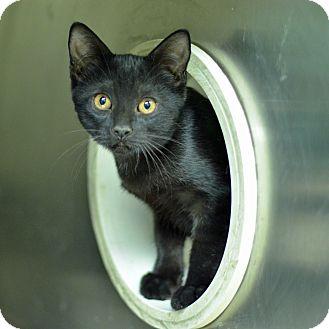 Domestic Shorthair Kitten for adoption in Brooksville, Florida - 10311539