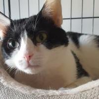 Adopt A Pet :: Moo Kitty - Baltimore, MD