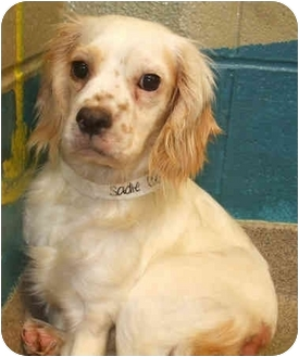 Cocker Spaniel Mix Dog for adoption in Mentor, Ohio - Sadie - Adopted