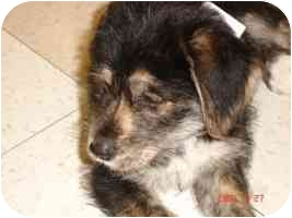Terrier (Unknown Type, Medium)/Terrier (Unknown Type, Small) Mix Puppy for adoption in Broomfield, Colorado - Sam