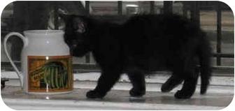 Domestic Mediumhair Kitten for adoption in New York, New York - JoJo