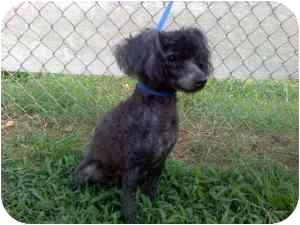 Poodle (Miniature) Mix Dog for adoption in McDonough, Georgia - Jazmin