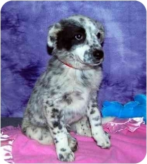 Australian Cattle Dog/Australian Cattle Dog Mix Puppy for adoption in Broomfield, Colorado - Pearl S. Buck