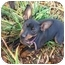Photo 3 - Miniature Pinscher Puppy for adoption in Chicago, Illinois - Roxie