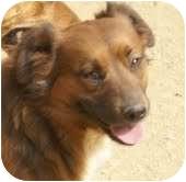 Basset Hound/Labrador Retriever Mix Dog for adoption in Portland, Maine - Cheyanne
