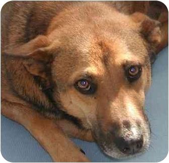 Shepherd (Unknown Type)/Beagle Mix Dog for adoption in Houston, Texas - Bogart -the charmer