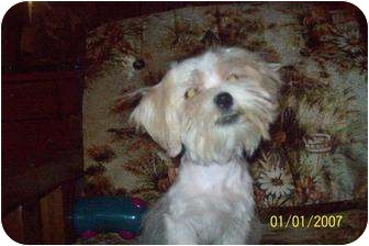 Schnauzer (Miniature)/Poodle (Toy or Tea Cup) Mix Puppy for adoption in springtown, Texas - Love bug