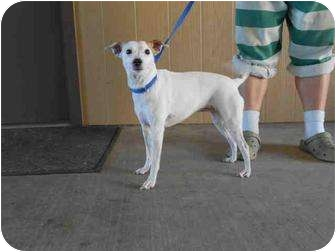 Jack Russell Terrier Mix Dog for adoption in Yuba City, California - Unnamed