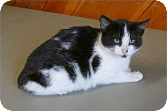 Domestic Shorthair Cat for adoption in Tillamook, Oregon - Possum