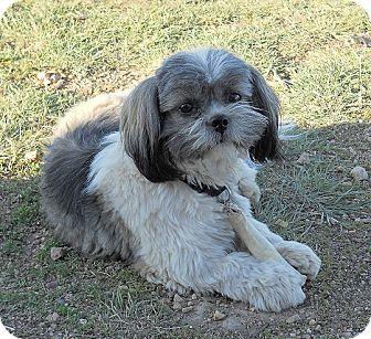 Shih Tzu Dog for adoption in Denver, Colorado - Cici