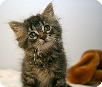 Maine Coon Kitten for adoption in East Brunswick, New Jersey - Krunchie