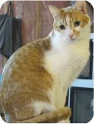 Domestic Shorthair Cat for adoption in Portage la Prairie, Manitoba - Muir